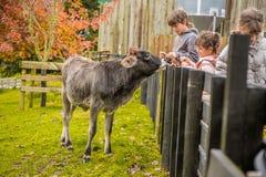 Na gospodarstwie rolnym krowa zdjęcia royalty free