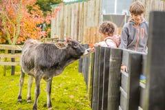 Na gospodarstwie rolnym krowa zdjęcie stock