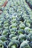 Na Gospodarstwie rolnym zielone Kapusty Zdjęcie Stock