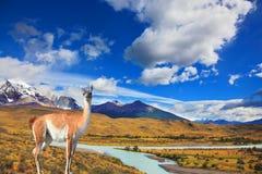 Na grama está o guanaco - Lama Fotos de Stock