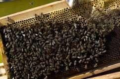Na Honeycomb miodowa Pszczoła zdjęcia royalty free