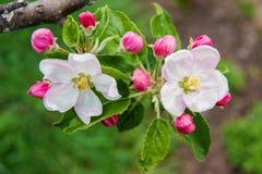 Na jabłoni, dwa kwiatu kwitnęli, otaczają mnogim Obraz Stock
