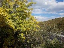 Na jarda vem a queda As folhas da amoreira giraram amarelo foto de stock royalty free