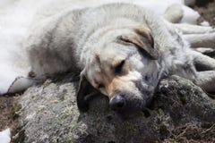 Na kamieniu psi bezdomny sen Zdjęcie Stock