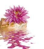 Na kamieniu różowy kwiat Fotografia Royalty Free
