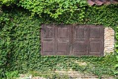 Na klasyk ścianie Ficus pumila Zdjęcia Royalty Free