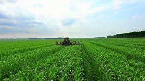 Na kukurydzanym polu tam jest ciągnik, maszyna która parses, usuwa lateral młodych krótkopędy kukurudza, wzrasta fedrunek zbiory