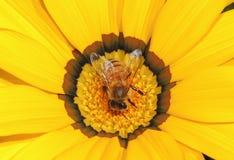 Na kwiacie miodowa Pszczoła Zdjęcia Royalty Free