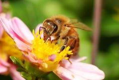 Na kwiacie miodowa Pszczoła Obrazy Royalty Free