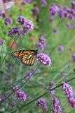 Na kwiacie monarchiczny motyl Zdjęcia Royalty Free