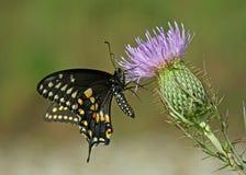 Na kwiacie monarchiczny motyl Fotografia Royalty Free