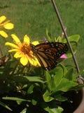 Na kwiacie monarchiczny motyl Zdjęcie Royalty Free