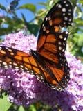 Na kwiacie monarchiczny motyl Obrazy Royalty Free
