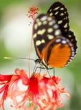 Na kwiacie monarchiczny motyl Zdjęcia Stock
