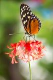 Na kwiacie monarchiczny motyl Obraz Royalty Free