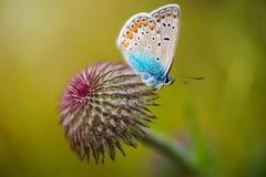 Na Kwiacie zbliżenie Motyl fotografia royalty free