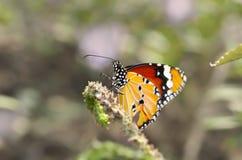 Na Kwiacie zbliżenie Motyl Obrazy Royalty Free