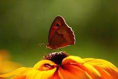 Na Kwiacie zbliżenie Motyl Zdjęcie Royalty Free