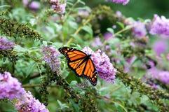 Na kwiatach monarchiczny Motyl zdjęcie stock