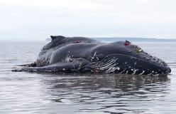 na ląd umierający humpback nieletni obmycia wielorybi obraz royalty free