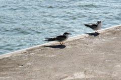 na ląd seagulls Fotografia Royalty Free