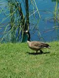 Na lagoa do ganso fotografia de stock