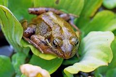 Na leluja ochraniaczu żaby obsiadanie obrazy stock