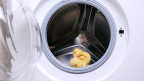 Na máquina de lavar vazia aberta, um patinho bonito pequeno amarelo senta-se Tenta saltar filme
