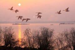 Na manhã, os gansos voam no Qiantang River fotos de stock