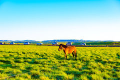 Na manhã, um cavalo está na pastagem Fotografia de Stock Royalty Free