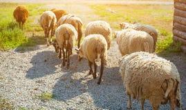 Na manhã um rebanho dos carneiros fora da cerca para o gado no pasto Imagem de Stock Royalty Free