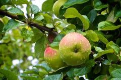 Na mokrym drzewie dwa jabłka Obrazy Royalty Free