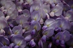 Na mola a flor copioso da glicínia foto de stock royalty free