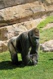 Na naturze duży męski goryl Obrazy Royalty Free