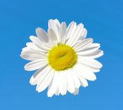 Na niebieskiego nieba tle kwiat piękna stokrotka Zdjęcia Royalty Free