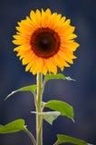 Na niebieskim niebie słonecznikowy zbliżenie Zdjęcia Stock