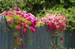 Na ogrodzeniu różowe róże Obraz Royalty Free