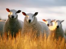 na owce Obraz Royalty Free
