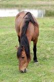 Na paśniku Brown koń Zdjęcia Stock
