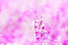 na pięknych menchiach kwitnie tło, Miękka ostrość Obrazy Royalty Free
