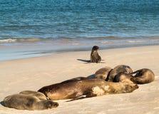 Na plaży dziecko mała foka wśród innych obraz stock