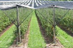 Na plantação da árvore de maçã na Sérvia fotografia de stock royalty free