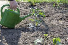 Na planta de morango molhando da mão da mola com água pequena imagem de stock
