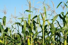 Na polu dojrzewa kukurudzy fotografia stock