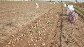 Na poly kłamstwach ostatnio digged kartoflany ciągnik Zbierać chłopami zbiory