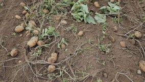 Na poly kłamstwach ostatnio digged kartoflany ciągnik Zbierać chłopami zdjęcie wideo