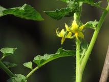 Na pomidorowej roślinie żółci świezi kwiaty Zdjęcia Royalty Free