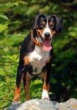 Na posição do cão do dever Foto de Stock