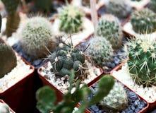 Na powierzchni stół są wiele mali kaktusy zasadzający w małych garnkach fotografia stock