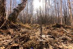 Na primavera floresta Imagem de Stock